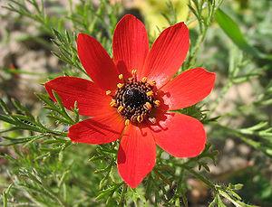 Adonis annua - Image: Adonis annua flor