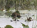 Aenigmatolimnas marginalis, haan en kuikens, Kgomo-kgomo-vleiland, Birding Weto, c.jpg