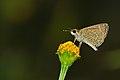Aeromachus pygmaeus-Kadavoor-2015-08-22-001.jpg