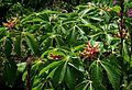 Aesculus pavia rosea nana - Flickr - peganum (4).jpg