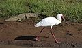 African Spoonbill, Platalea alba, at Pilanesberg National Park, Northwest Province, South Africa (28635431442).jpg