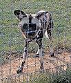 African wild dog (2917655494).jpg