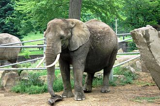 Cleveland Metroparks Zoo - African elephant at the Cleveland Metroparks Zoo