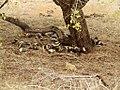 Afrikaanse Wilde Hond (6290940040).jpg