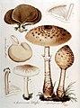 Agaricus excoriatus — Flora Batava — Volume v10.jpg