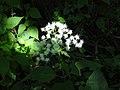Ageratina altissima SCA-03392.jpg