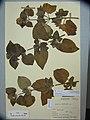 Ageratum conyzoides L. (AM AK89510).jpg