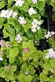 Ageratum houstonianum Hawaii Shell Pink 2zz.jpg