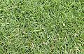 Agrostis pallens turf.jpg