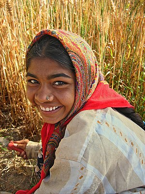 Yadav - A woman of the Ahir community, which falls within the Yadav group, harvesting wheat in western India.  Many Yadavs have taken to non-traditional occupations.