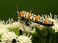 Ailanthus Webworm Moth (31788773476).jpg