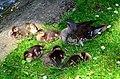 Aix galericulata (Küken) - Nymphenteich Zürichhorn 2013-06-06 15-20-34.JPG