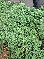 Alamar Farm herbs.jpg
