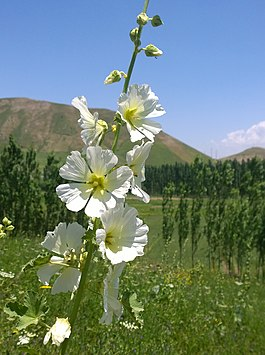 Alcea nudiflora 1, Elok, Faizobod District.jpg