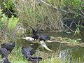 Alligator- Dead , NPSphoto, P.Baxter (9099195131).jpg