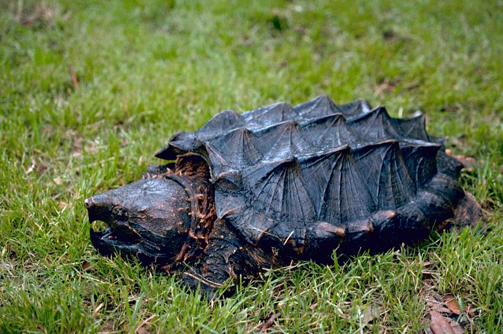 Alligator snapping turtle (1)