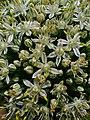 Allium cepa 003.JPG