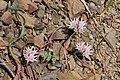 Allium crenulatum 5853.JPG