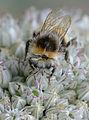 Allium porrum Bombus lucorum, prei kleine aardhommel (11).jpg