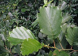 Alnus-glutinosa-leaves.JPG