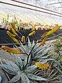 Aloe (5643969417).jpg