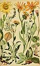 Alpenflora; die verbreitetsten Alpenpflanzen von Bayern, Österreich und der Schweiz (1922) (17488910193).jpg