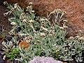 Alpine pussytoes (21b31a5197704d0bba928fc7b0433121).JPG