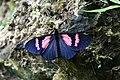 Altinote dicaeus albofasciata (Nymphalidae- Heliconiinae- Acraeini) (29637894192).jpg