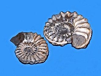 Pleuroceras spinatum - Fossil shells of Pleuroceras spinatum from Lyme Regis (England), on display at Galerie de paléontologie et d'anatomie comparée in Paris
