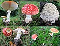 Amanita muscaria (GB= Fly Agaric, D= Fliegenpilz, F= Amanite tue-mouches, NL= Vliegenzwam) at Rozendaal. The first appearance in 2015 - panoramio.jpg