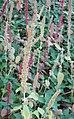 Amaranthus caudatus Linn.jpg