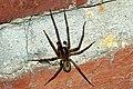 Amaurobius.similis.male.jpg