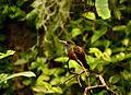 Amazilia amazilia Parc des Oiseaux 21 10 2015 2.jpg