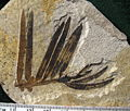 Amentotaxus needles 01.jpg