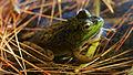 American Bullfrog (Rana catesbeiana) - Algonquin Provincial Park, Ontario 04.jpg