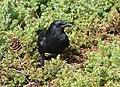 American Crow (30681105977).jpg