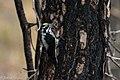 American Three-toed Woodpecker Signal Burn Gila NF NM 2017-10-18 09-01-39 (38192328715).jpg
