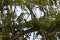 American robin (7554926a-6549-491f-9a73-219237e3cc88).jpg