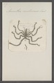 Ammothea - Print - Iconographia Zoologica - Special Collections University of Amsterdam - UBAINV0274 073 05 0010.tif