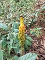 Amorphophallus paeoniifolius 81361079.jpg