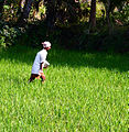 An Indian farmer spreading fertilizer over a crop.jpg