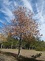 Anadolu sığla ağacı - Liquidambar orientalis 20.jpg