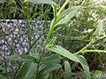 Anchusa arvensis subsp. orientalis sl7.jpg