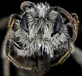 Andrena nasonii, M, face, New York, Kings County 2013-02-07-14.25.36 ZS PMax (8488018958).jpg