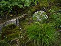 Androsace mucronifolia (7855620258).jpg