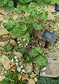 Androsace rotundifolia - RHS Garden Harlow Carr - North Yorkshire, England - DSC01461.jpg