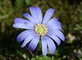 Anemone apennina (xndr).jpg