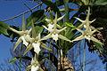 Angraecum sesquipedale (14671225958).jpg