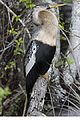 Anhinga - Anhinga anhinga, Everglades National Park, Homestead, Florida.jpg