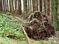 Another fallen tree - panoramio.jpg